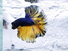 Fetaher Tail Betta