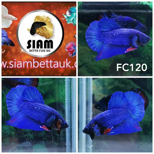 FC120 FANCY HMPK MALE BETTA