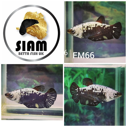 FM66 BLACK SAMURAI FEMALE BETTA