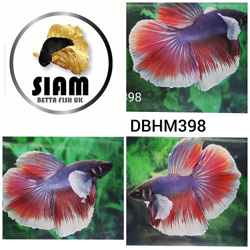 DBHM398 DUMBO HALFMOON MALE BETTA
