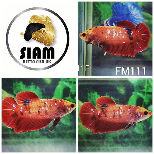 FM111 FANCY KOI HMPK FEMALE BETTA