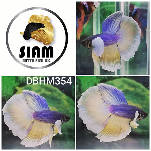 DBHM354 DUMBO HALFMOON MALE BETTA
