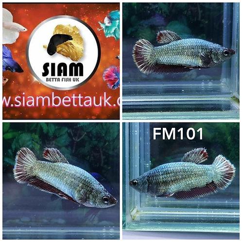 FM101 FANCY  DRAGON HMPK FEMALE BETTA