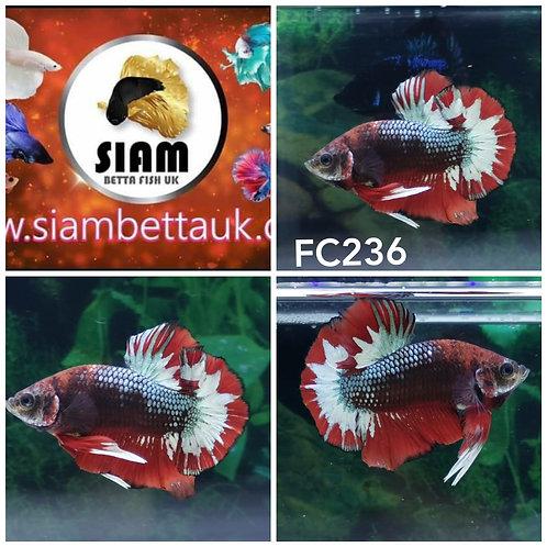 FC236 FANCY RED STAR HMPK MALE BETTA