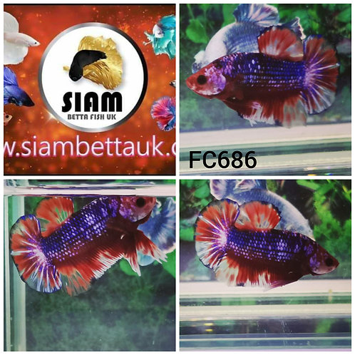 FC686 FANCY HMPK  MALE BETTA