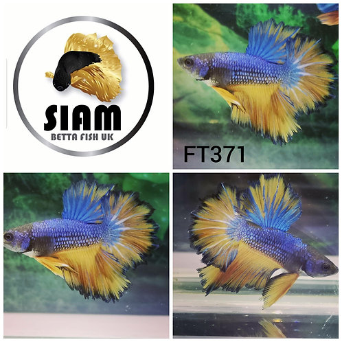 FT371 FEATHER TAIL MALE BETTA