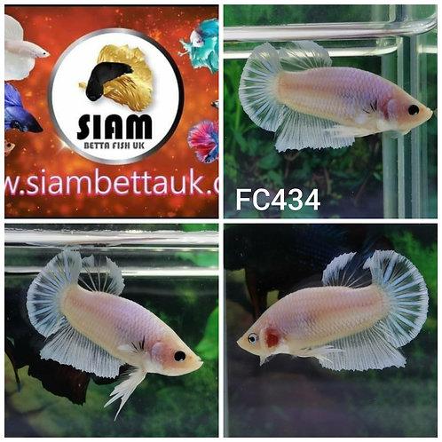 FC434 FANCY HMPK MALE BETTA