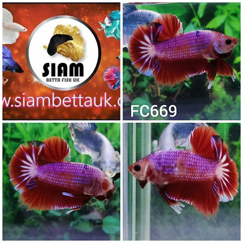 FC669 FANCY HMPK MALE BETTA