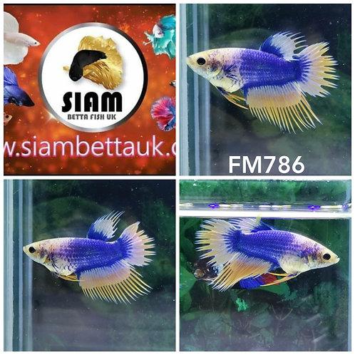 FM786 FANCY CROWTAIL FEMALE BETTA