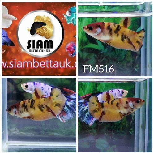 FM516 FANCY KOI HMPK FEMALE BETTA