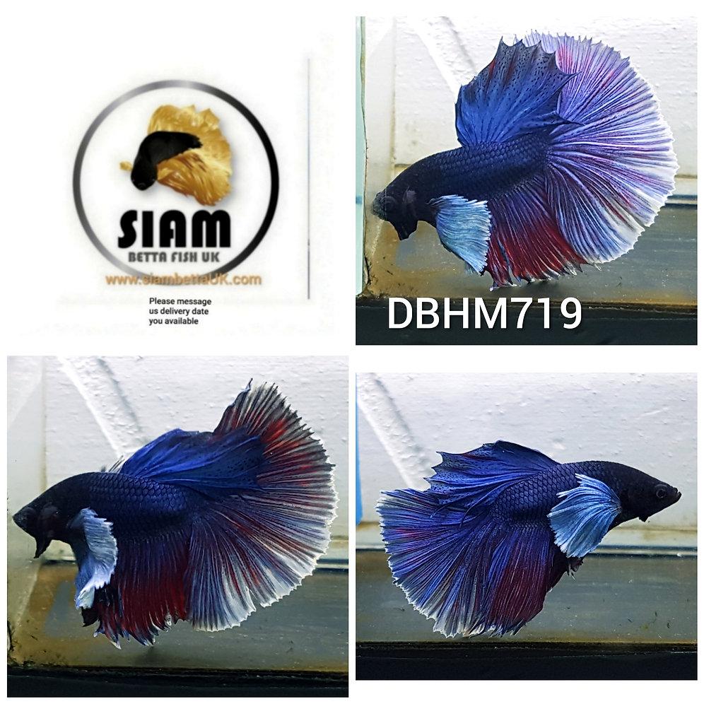DBHM719 DUMBO HALFMOON MALE BETTA