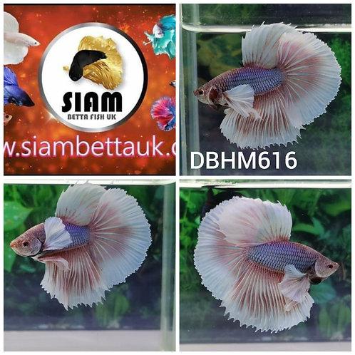 DBHM516 DUMBO HALFMOON MALE BETTA