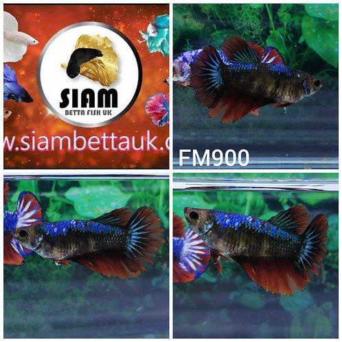 FM900 FANCY HALFMOON FEMALE BETTA