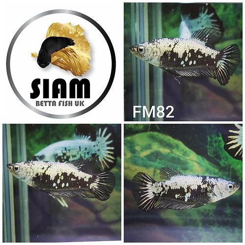 FM82 BLACK SAMURAI FEMALE BETTA
