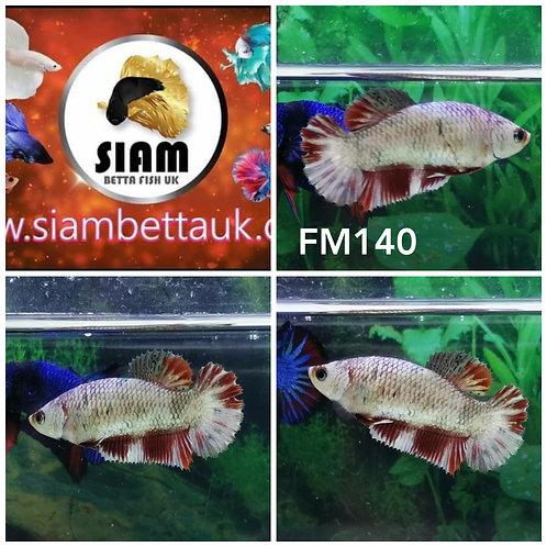 FM140 FANCY HMPK FEMALE BETTA