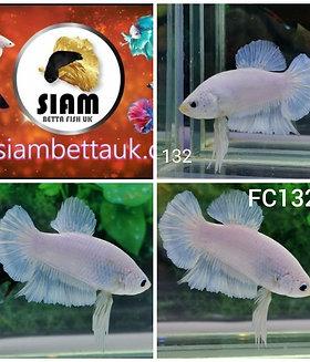 FC132 FANCY HMPK MALE BETTA