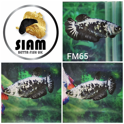 FM65 BLACK SAMURAI FEMALE BETTA