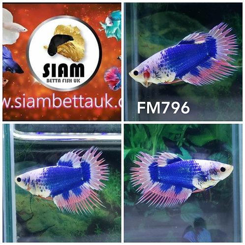 FM796 FANCY CROWTAIL MALE BETTA