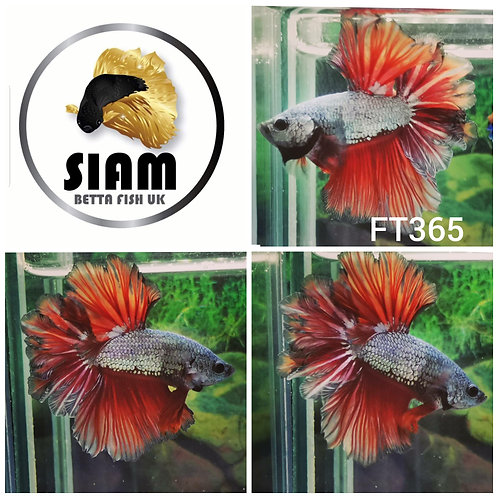 FT365 FEATHER TAIL MALE BETTA