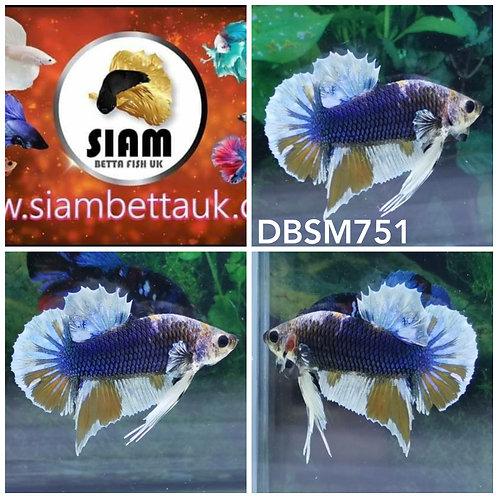 DBSM751 DUMBO HMPK MALE BETTA