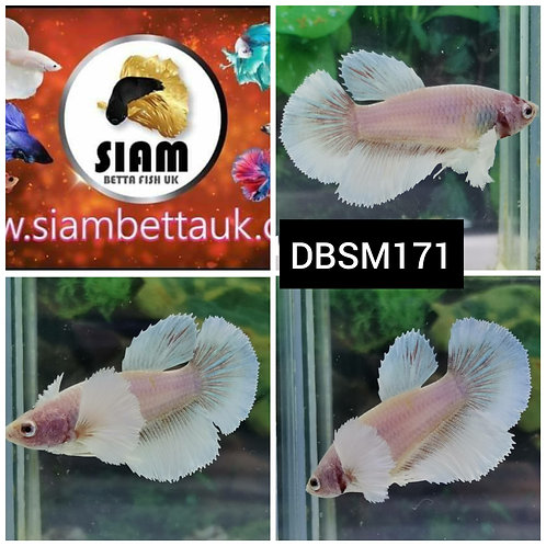 DBSM171 DUMBO HMPK FEMALE BETTA