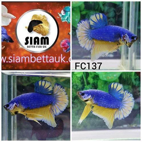 FC137 FANCY HMPK MALE BETTA