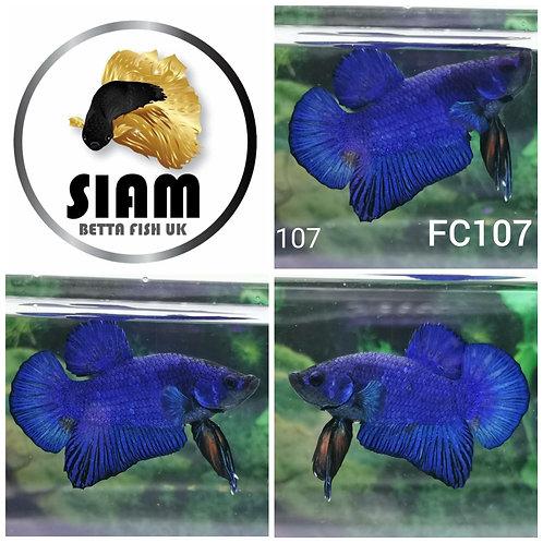 FC107 FANCY HMPK MALE BETTA