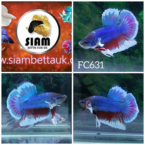 FC631 FANCY HMPK MALE BETTA