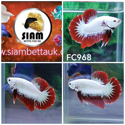 FC968 RED DRAGON HMPK MALE BETTA