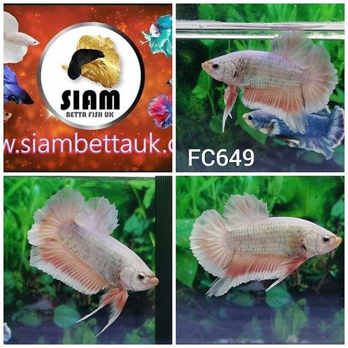 FC649 FANCY HMPK MALE BETTA