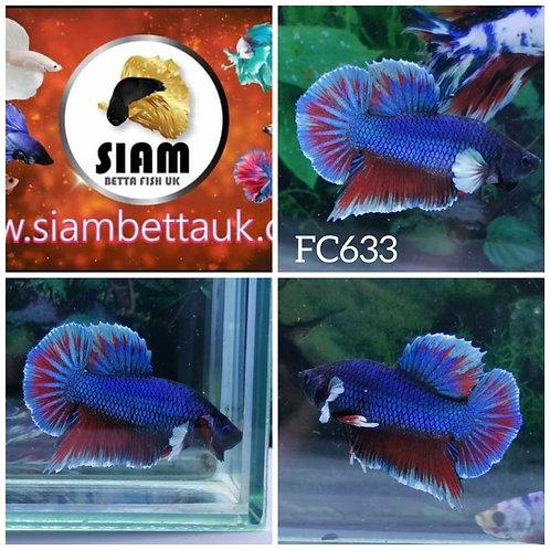 FC633 FANCY HMPK MALE BETTA