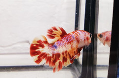 Koi Candy Nemo Betta