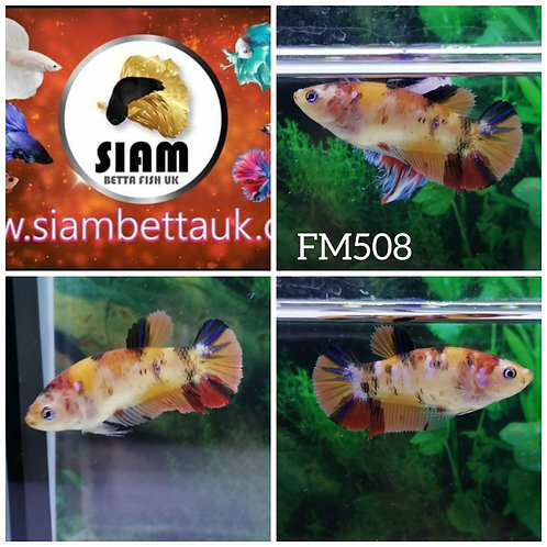FM508 FANCY KOI HMPK FEMALE BETTA
