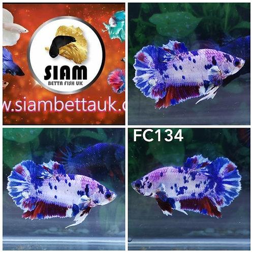 FC134 FANCY HMPK MALE BETTA