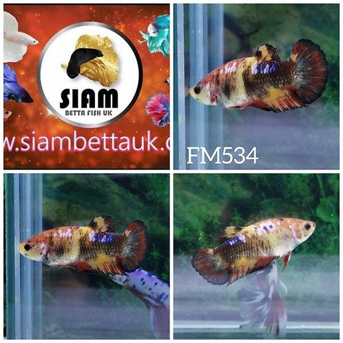 FM534 FANCY KOI HMPK FEMALE BETTA