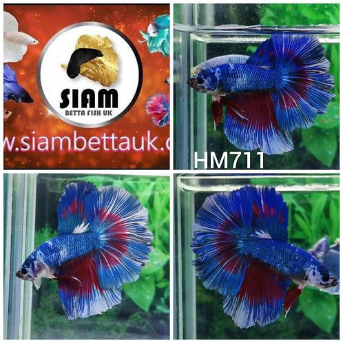 HM711 FANCY HALFMOON MALE BETTA