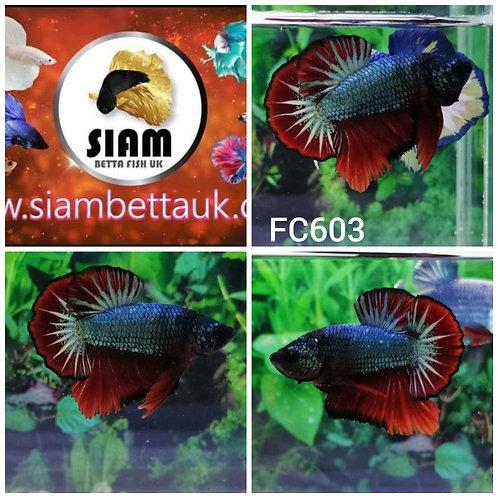 FC603 FANCY HMPK MALE BETTA