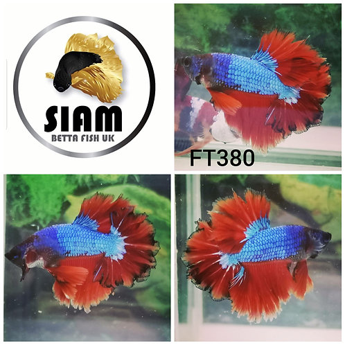 FT380 FEATHER TAIL MALE BETTA