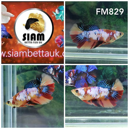 FM829 KOI HALFMOON FEMALE BETTA