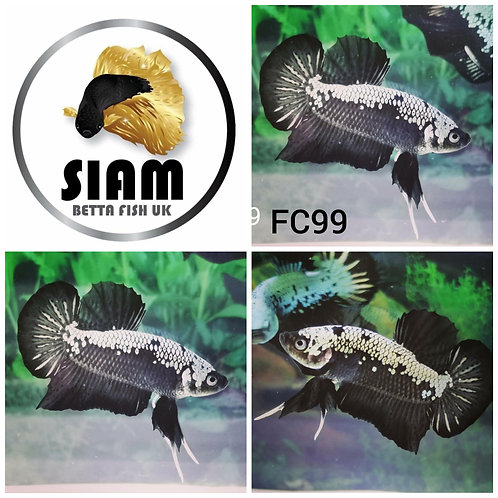 FC99 BLACK SAMURAI HMPK MALE BETTA