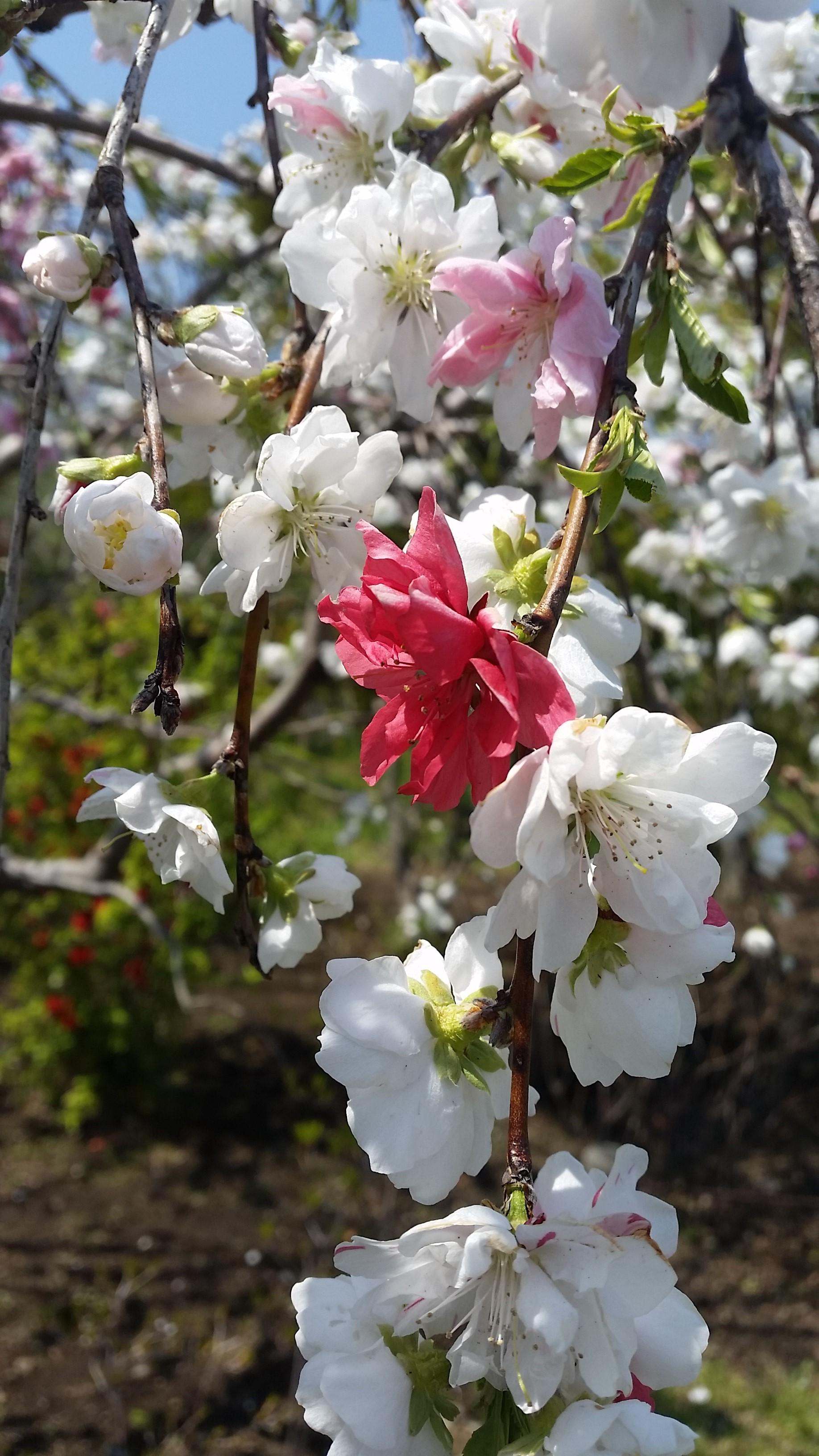咲き分け源平