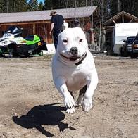 happy leaping white bully.jpg