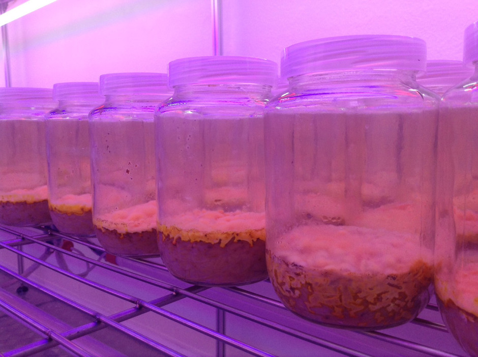 Meticulousness in Organic Cordyceps Cultivation