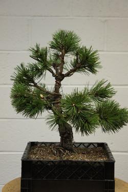 LIBS Bosnian Pine Jose Finished