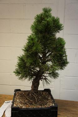 LIBS Bosnian Pine Joe Before