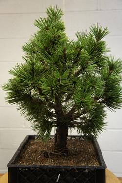 LIBS Bosnian Pine Jose Before