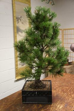 LIBS Bosnian Pine Dan Before