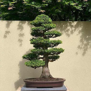 Hal Mahoney Hinoki Cypress.jpg
