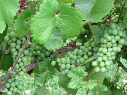 Beautiful clusters of grapes.