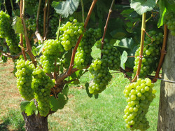 Grapes in the sunshine